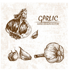 digital detailed garlic hand drawn vector image