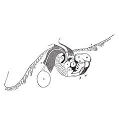 Embryo at fourth week vintage vector