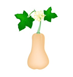 Fresh Butternut Squash Plant on White Background vector