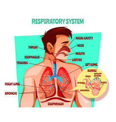 Human respiratory system vector