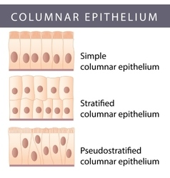 Epithelium vector