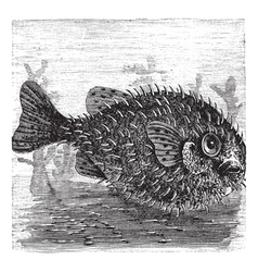 Porcupine Fish engraving vector image
