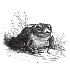 Common Toad vintage engraving vector image