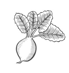 root and tuberous vegetables vector image