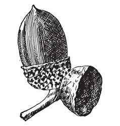 chestnut oak acorn vintage vector image