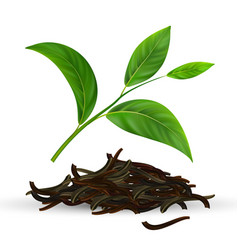 fresh and dry green tea leaves vector image