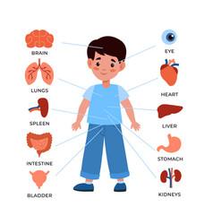 Kids internal organs system little boy vector