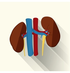 human kidneys flat vector image