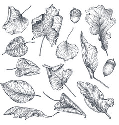Collection of hand drawn dry autumn leaves vector