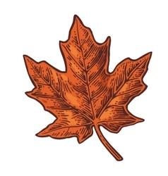 Maple leaf vintage color engraved vector