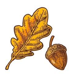 Oak leaf and acorn color vintage engraved vector