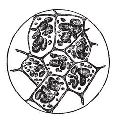 Potato cells vintage vector