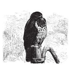 European hawk vintage vector