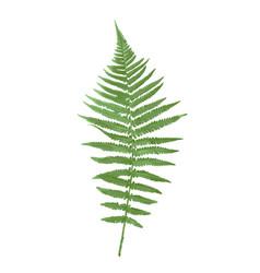 Naturalistic picture fern vector