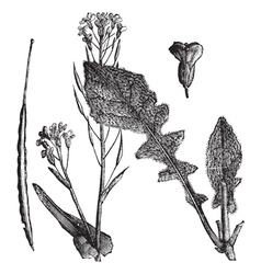 Field Mustard vintage engraving vector image
