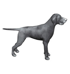 gray weimaraner on white background vector image