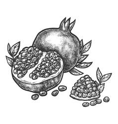 pomegranate split open fruit seeds sketch hatching vector image