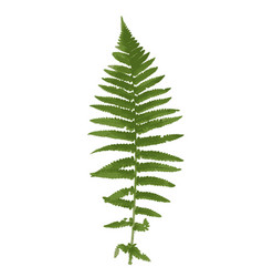 naturalistic picture of fern vector image