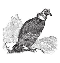 Andean condor vintage engraving vector