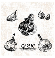 Digital detailed garlic hand drawn vector