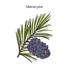 Pinus sibirica or siberian pine vector