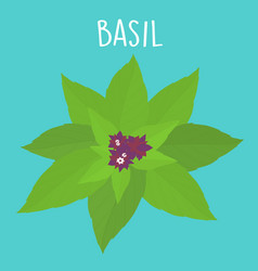 fresh basil leaf vector image