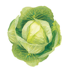 Cabbage 1 vector