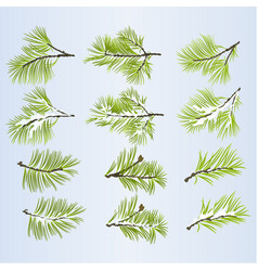 Pine tree branches lush conifer vector