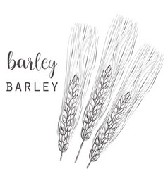 Barley sketch ear of barley vector