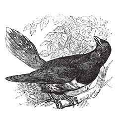 Common Cuckoo vintage engraving vector image