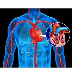 Xrays of human heart vector image vector image