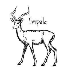 impala - sketch hand drawn vector image