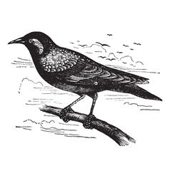 Common Starling vintage engraving vector image