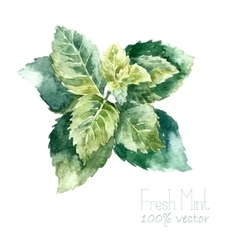 Watercolor mint vector image