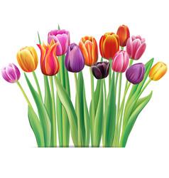 Bouquet of multicolor tulips vector