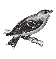 Wild canary vintage engraving vector