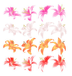 Flovers closeup lily pink white yellow and red vector