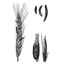 Rye cereal vintage engraved vector