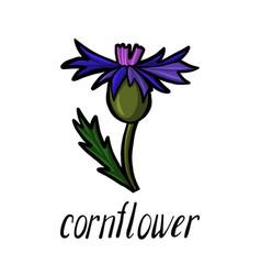 flower of cornflower vector image