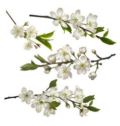 Set of blossoming cherry branches vector