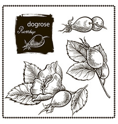 Dog rose hand drawn vector