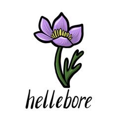flower hellebore vector image
