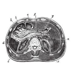 Horizontal section through abdomen vintage vector