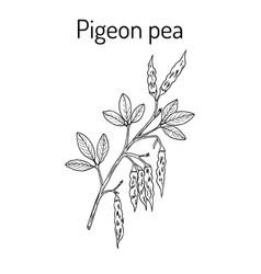 Pigeon pea cajanus cajan medicinal plant vector