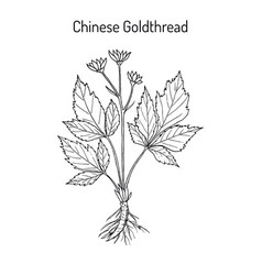 Chinese goldthread coptis chinensis medicinal vector
