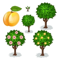 Planting and cultivation of apricot vector image