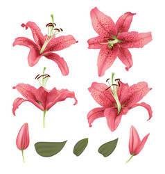 realistic lily flower blossom set vector image