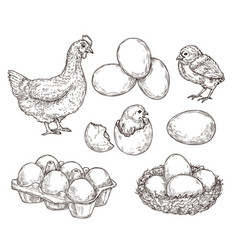 chicken sketch healthy natural farm eggs vintage vector image