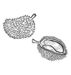 Durian fruit sketch engraving vector