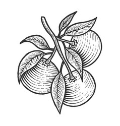 mandarin orange citrus sketch engraving vector image